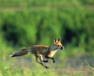red_fox_running_imagelarge